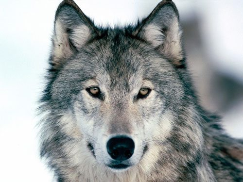 Who is afraid of the Big Bad Wolf? Wolf-photo